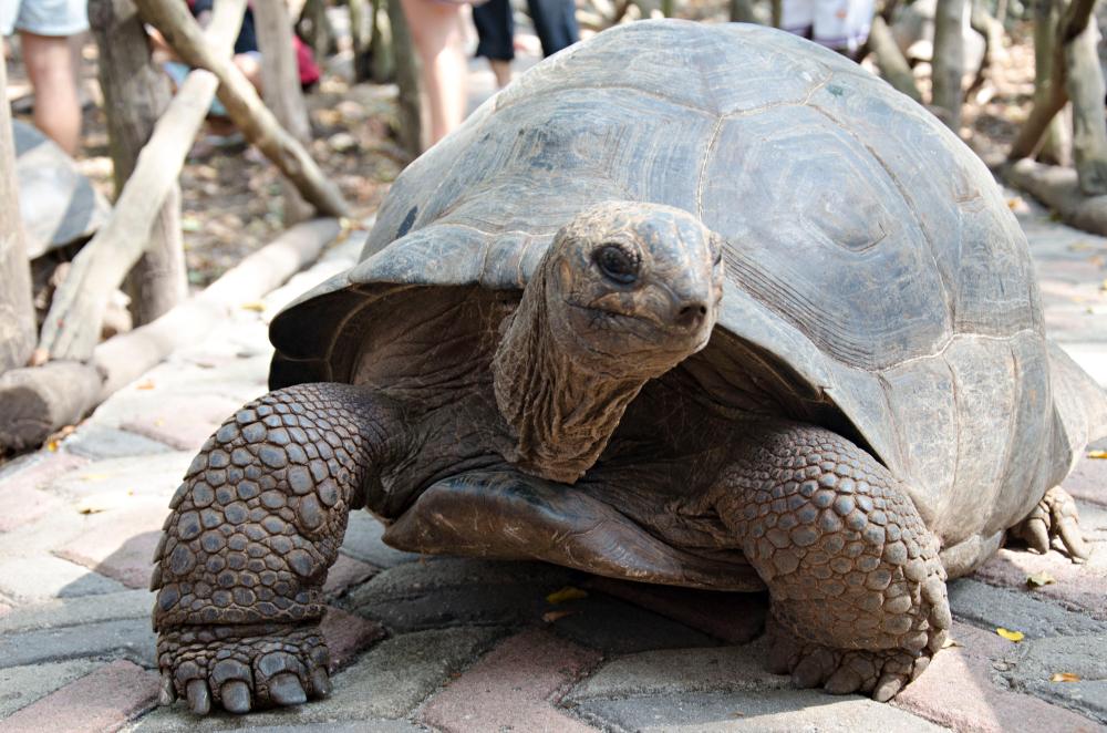 Le tartarughe giganti a Prison island