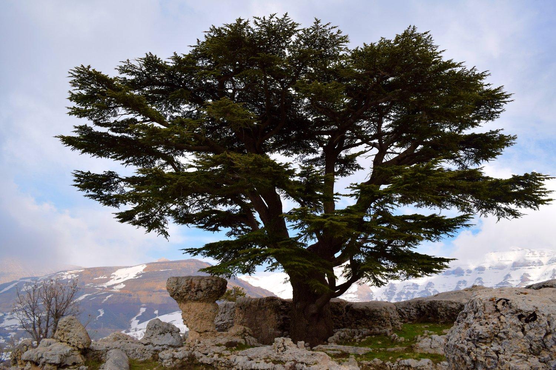 I cedri del Libano
