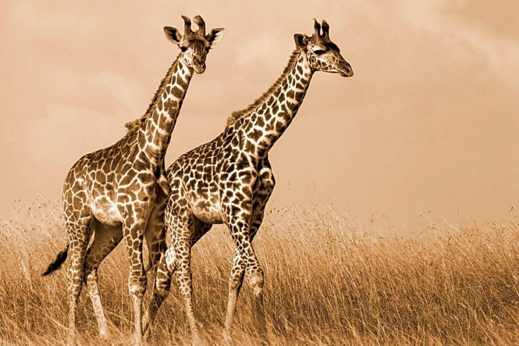 Torta giraffa senza glutine